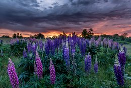 Spires of purple flowers rise above dark green plants while the first light of day scoots under clouds.